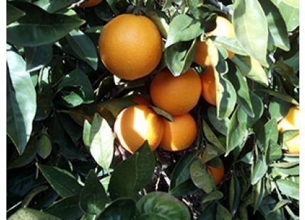 melon d'eau et jusqu'a 15 kg d'orange pour en faire du jus