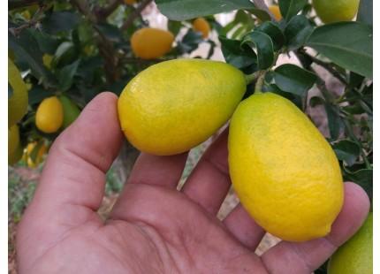 Citron vert 500g ✔