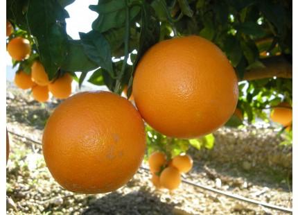 Orange Naveline de table, cagette de 5 kg