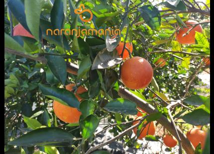 Boîte orange SANGUINA SWEET 9kg