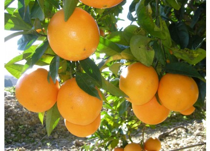 Orange Washington Navel jus 10kg