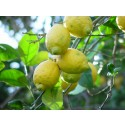 Boîte de 9 kg de citrons