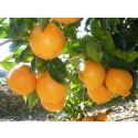 Orange Lane-late à jus , cagette de 5 kg