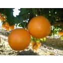 Orange Lane-late de table, cagette de 10 kg