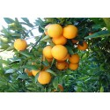 Orange Valencia-Late table 20kg
