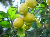 Boîte de 14 kg de citrons