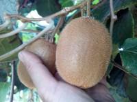 Kiwi hayward 1kg ✔