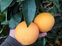 Un melon d'eau et jusqu'a 20 kg de d'orange pour en faire du jus