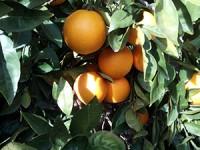 1 melon d'eau et jusqu'à 20 kg d'oranges