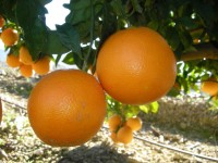 Orange Washington Navel table 20kg