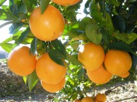 Caja Mixta 19kg de Naranja Mesa (14kg) +  Calabacín (5kg)